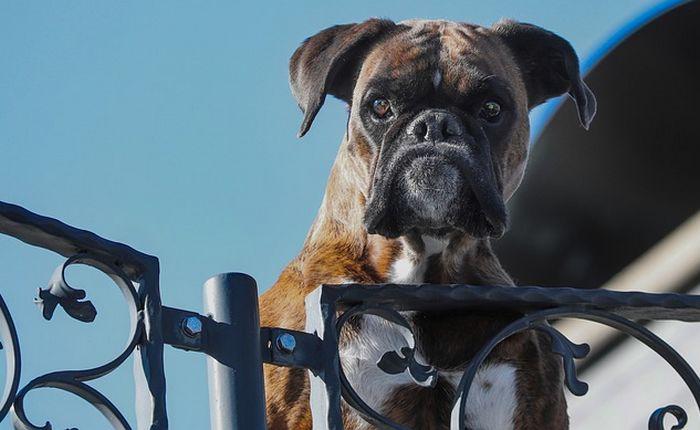 Sécuriser sa maison: quelles races de chien choisir?